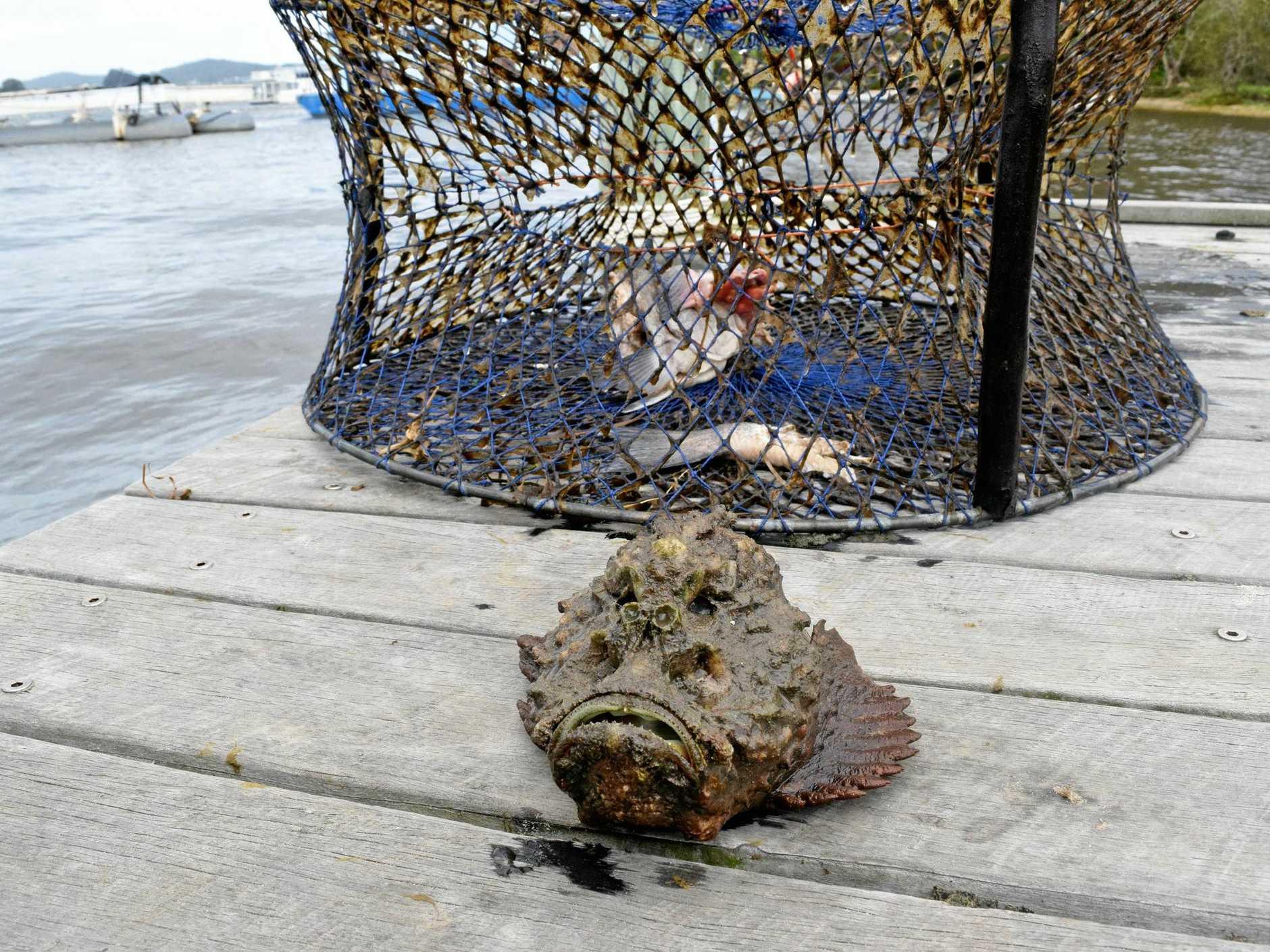 TOXIC: The now frozen stonefish.