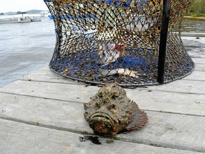 TOXIC: The now frozen stonefish.
