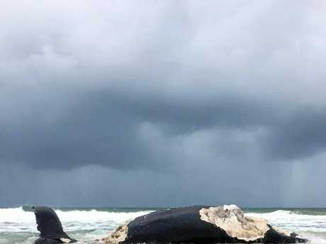 TORN APART: The humpback whale at Wurtulla Beach which washed up on Sunday.