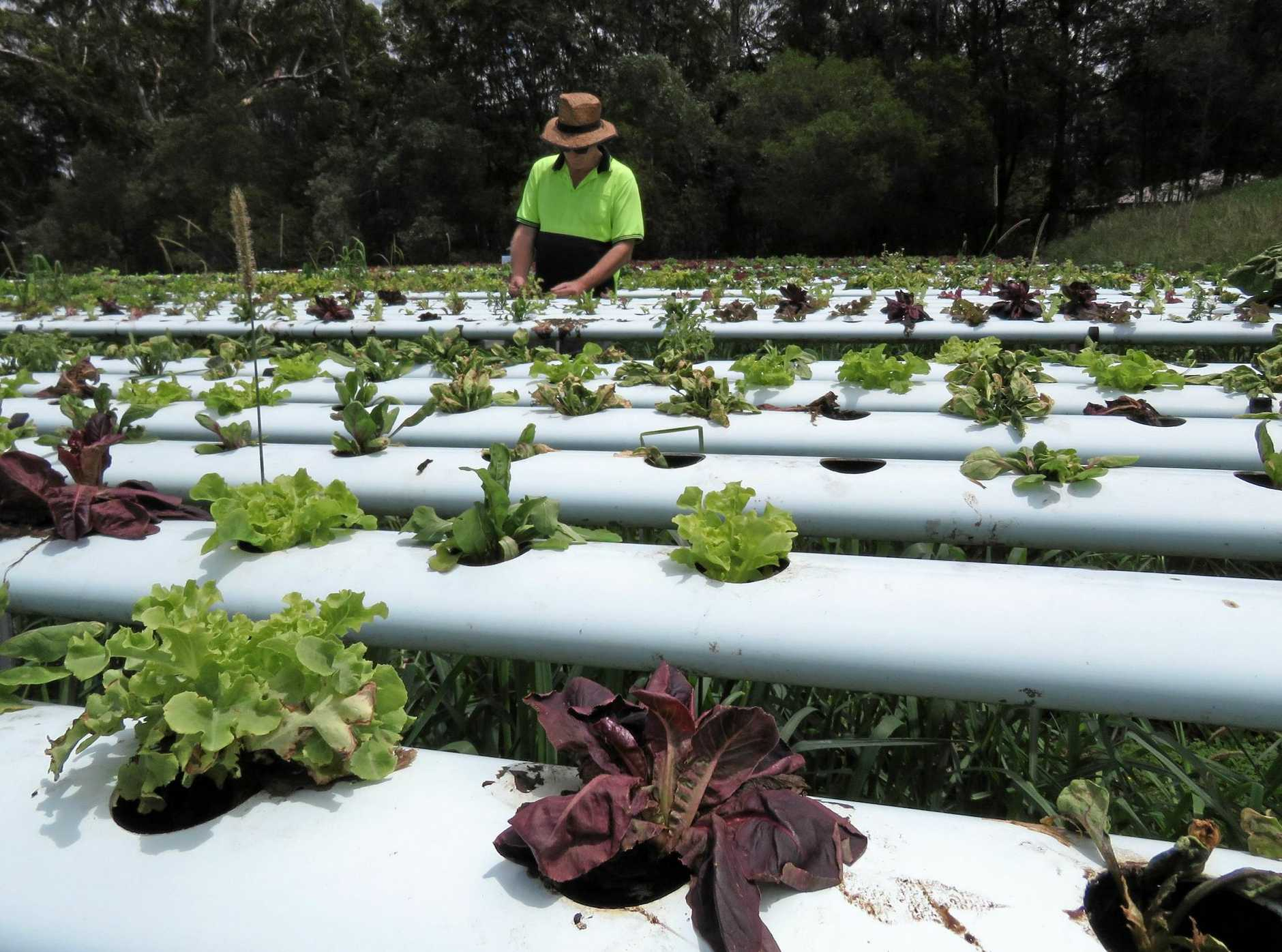 Stephen Richards works through rows of his greens which were first burned by the relentless winter heat and drought and then drowned by a month of rain received in two days.