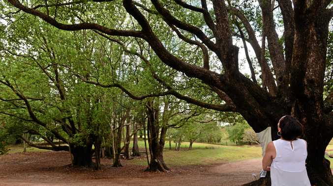 Four big camphor laurels trees  are going to be removed from Russell Family Park in Montville.