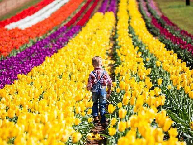 The Tesselaar Tulip Festival is on every spring in Silvan, Victoria.