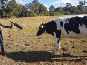 Dairy research reveals whole moo language to be herd