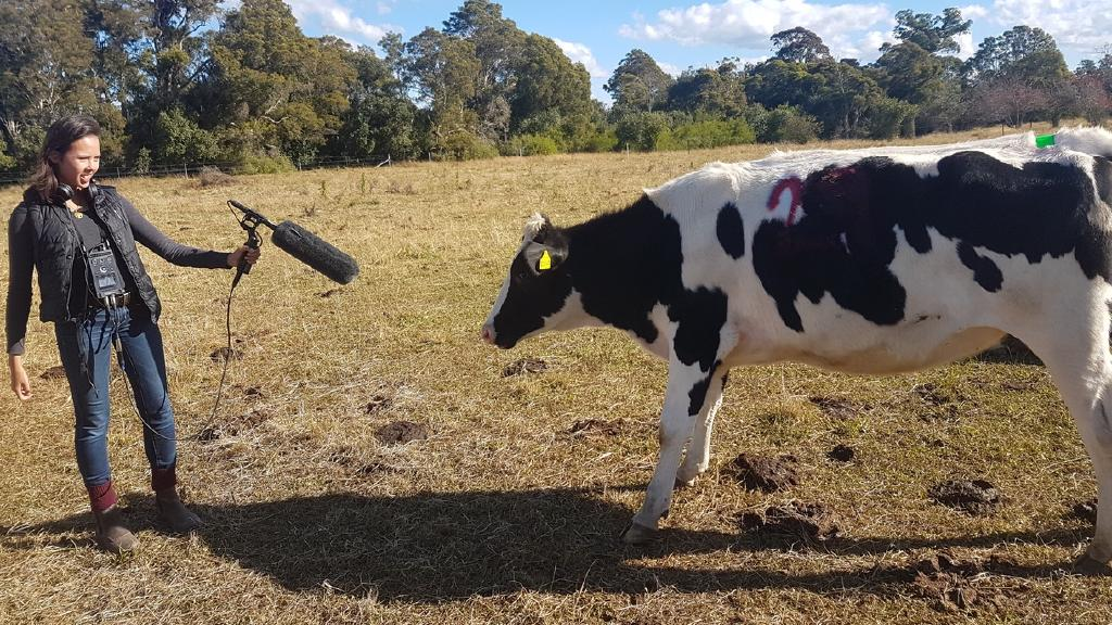 Field recording: University of Sydney PhD candidate Alexandra Green captures more of a heifer's vocal repertoire.