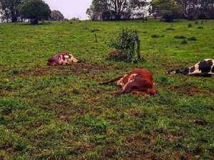 Lightning strike kills dairy cows