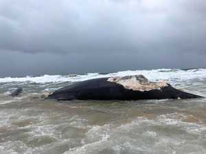 Removal of dead whale a 'logistical challenge'