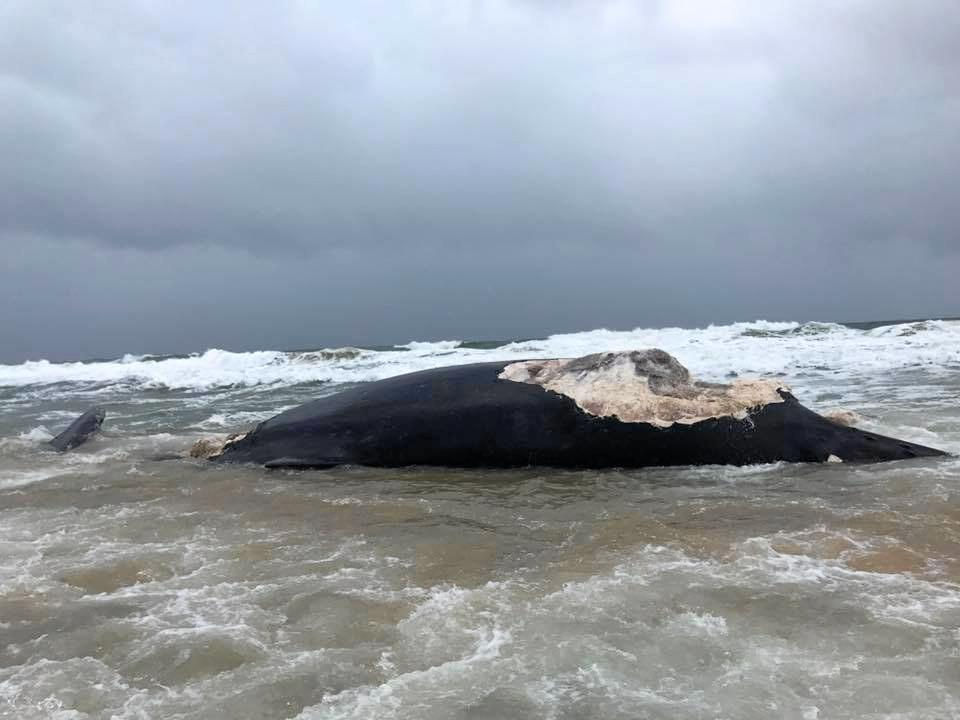 WASHED UP: The dead whale which had been savaged by sharks washes up on Wurtulla Beach.