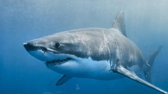It's believed girl was knocked off her kayak by a great white shark. Picture: Generic