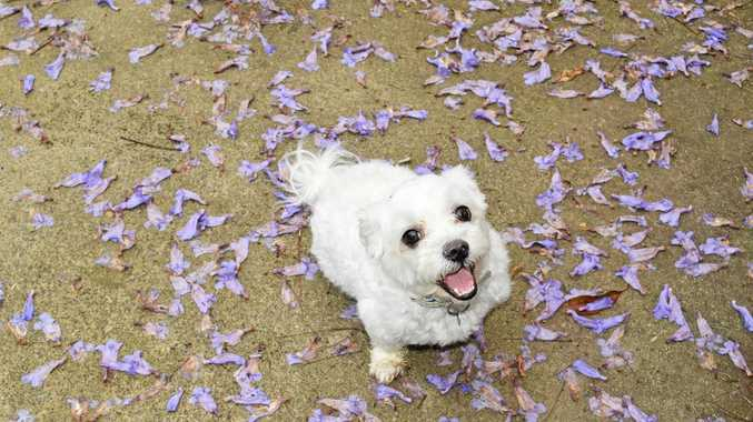 PURPLE RAIN: Dexter visits the jacaranda on his way in to the off-leash dog park in Pomona.