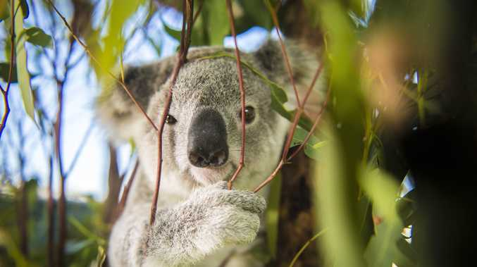 The Institute of Public Affairs says threatened species like the koala are holding back development.