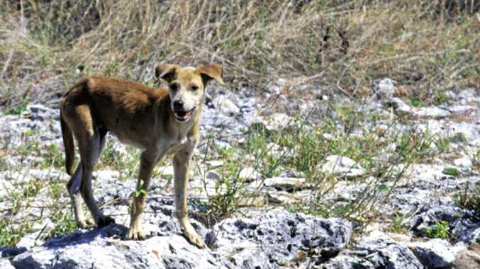 Feral dogs are causing problems for land owners in some parts of the Rockhampton region.