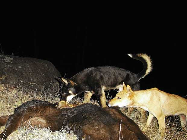 FERALS: Pests are costing the agriculture industry dearly.