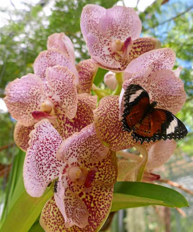 This beautiful stem of orchids attracted the butterfly and the ant (can you find it?) in Cairns Botanic garden in Queensland