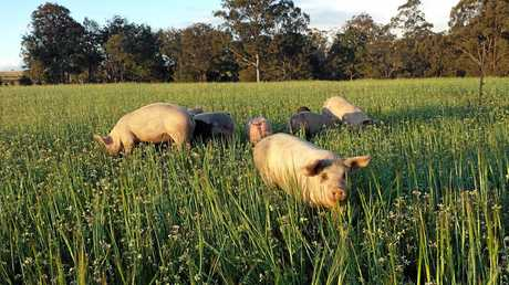 Some of the pigs on Schultz Family Farms, who raise all their livestock outdoors.