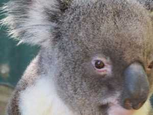 NiE Koalas in crisis