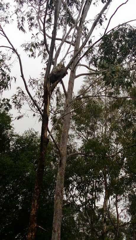Highfields residents share photos of koalas, reinforcing the need for trees and nature.