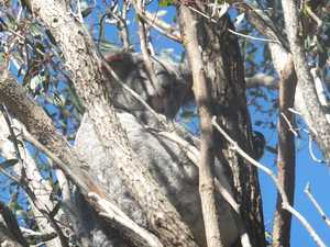 Cute koalas reason trees in Highfields need to be preserved