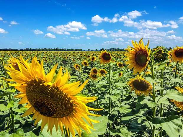Sunflowers growing outside Casino. You can buy them now, along with many other flowers, at local farmers' markets.