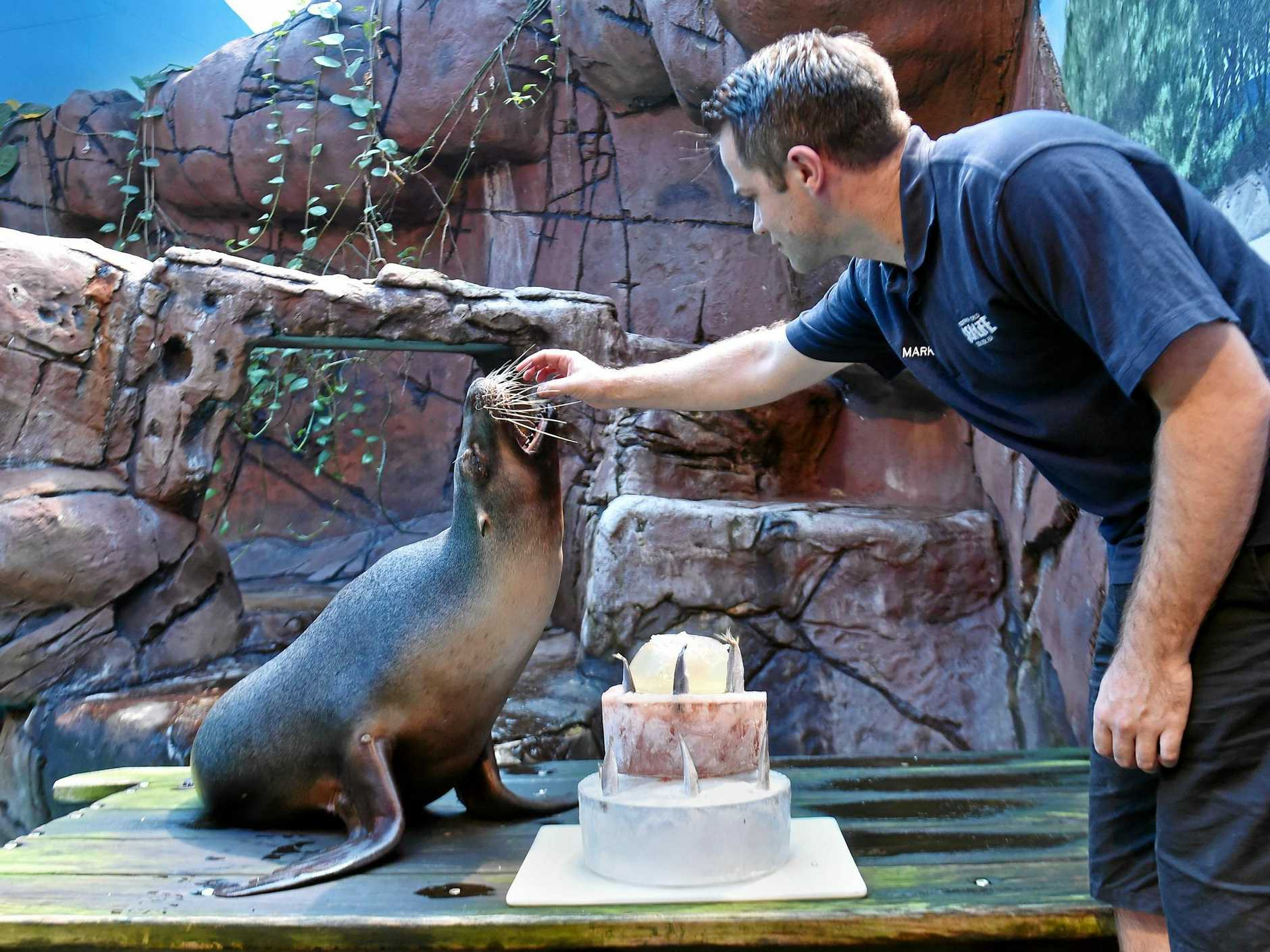 Portia the seal at Sea Life is celebrating her 28th Birthday with staff member Mark Ryan feeding her bithday cake.