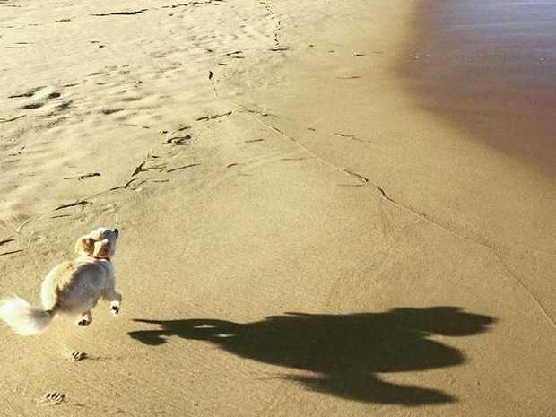 Pancho the chihuahua enjoys one of the Coast's dog off-leash beaches.