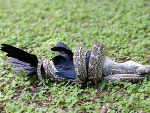 WATCH: Amazing footage of backyard snake devouring crow