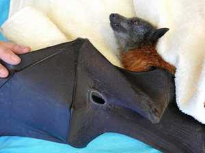 Barbed wire injures vulnerable flying-foxes