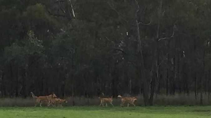 Pene Harris shared the photo of the cross breed dingoes to Highfields, Meringandan Community Facebook page.