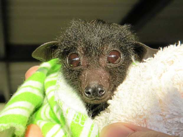 WATCH OUT: A WIRES-rescued flying fox pup.