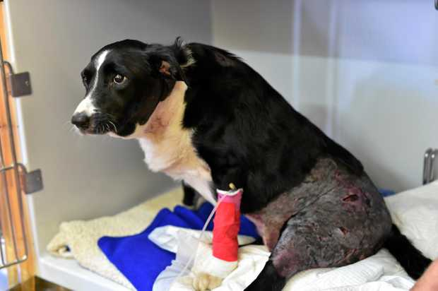 Phil Dahlenburg's dog Gemma, a nine-year-old border collie, was savagely attacked by a wild dog and lucky to be alive.