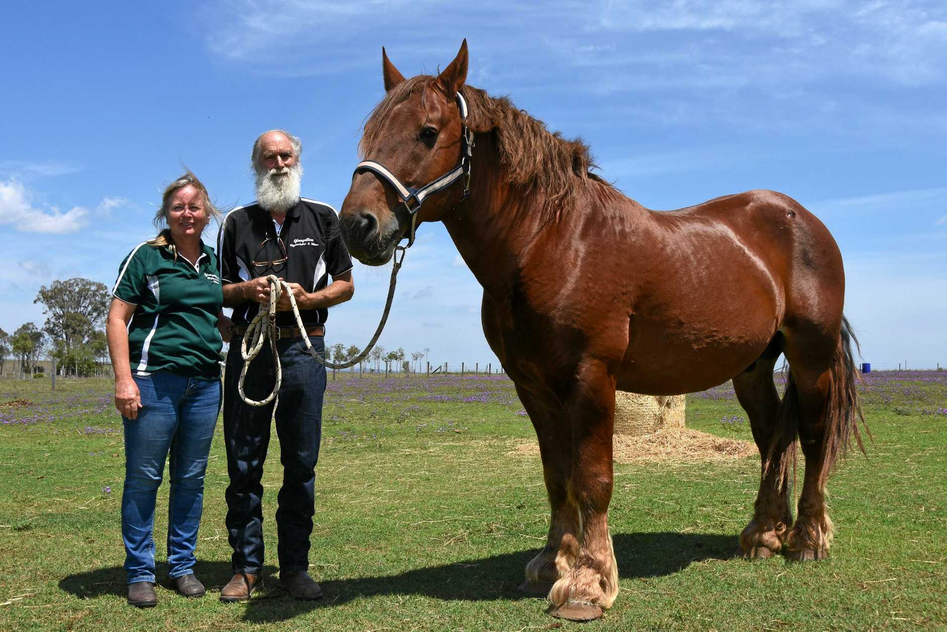 Breeders Saving Heritage Horse From Extinction Warwick Daily News