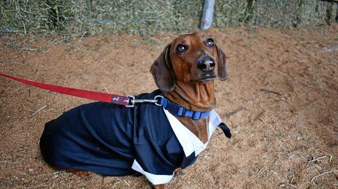 A dog dressed up.