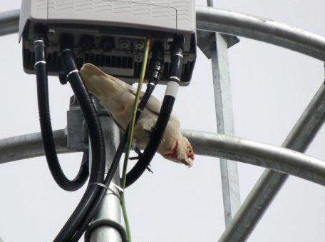 Cockatoos have wreaked havoc on NBN cables.