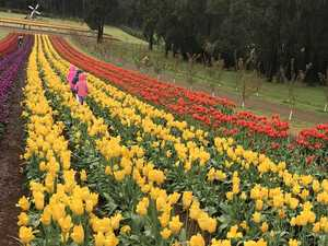 Touring the Tesselaar Tulip Farm