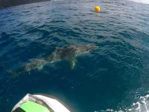 4m tiger shark swims between boardriders at Coast beach