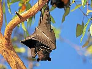 Council seeks funding for new flying fox roosting site