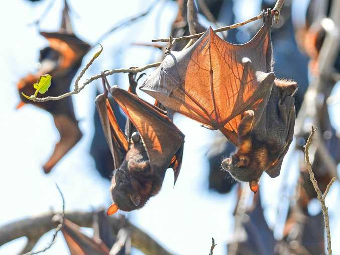 Flying foxes have taken over the trees in the main street of Miriam Vale.
