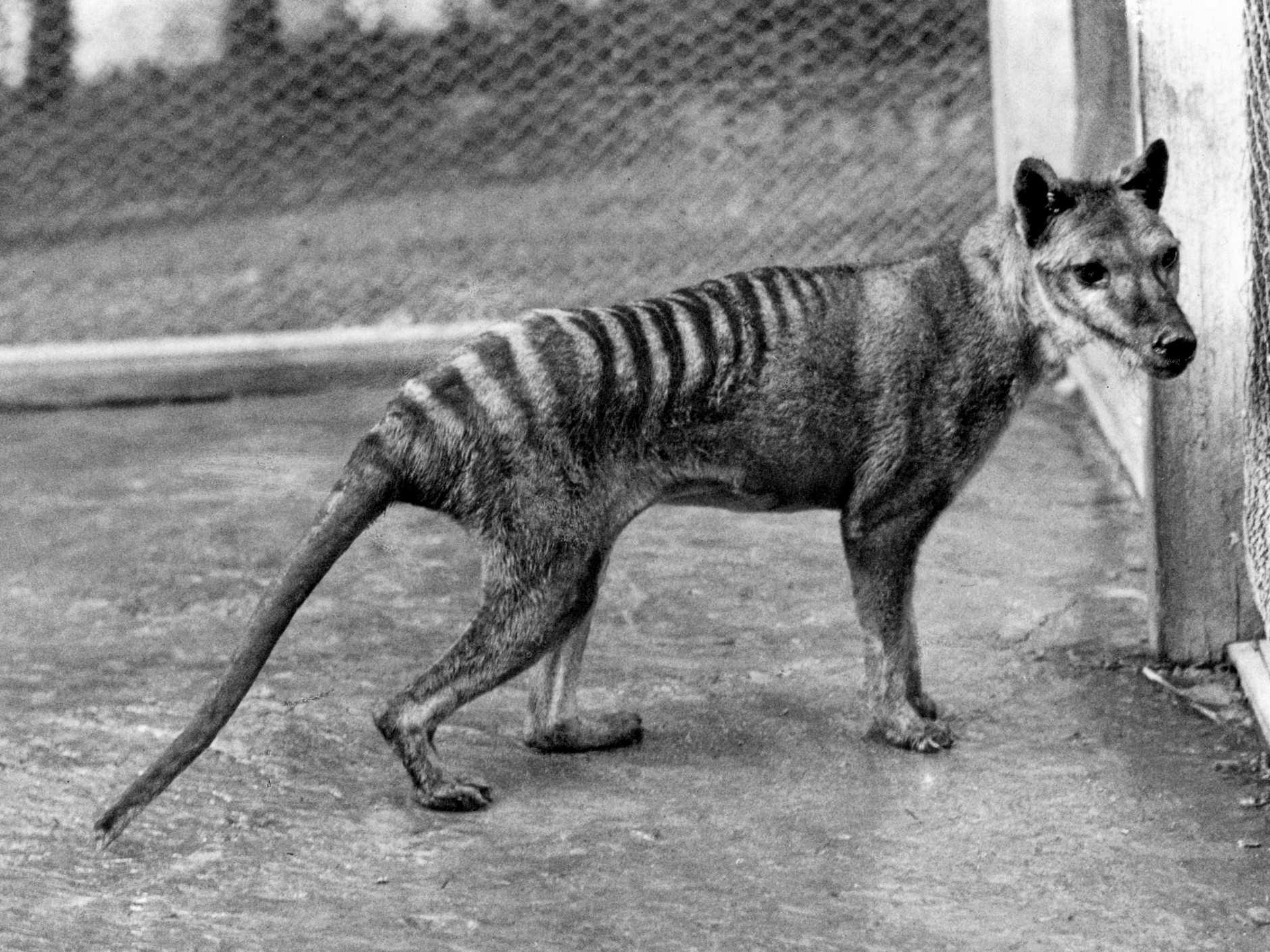 Could there be a Tasmanian Tiger roaming our hills
