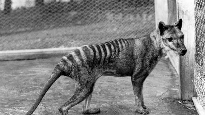 A handout photo made available by the Tasmanian Museum and Art Gallerymade shows an extinct Tasmanian Tiger.