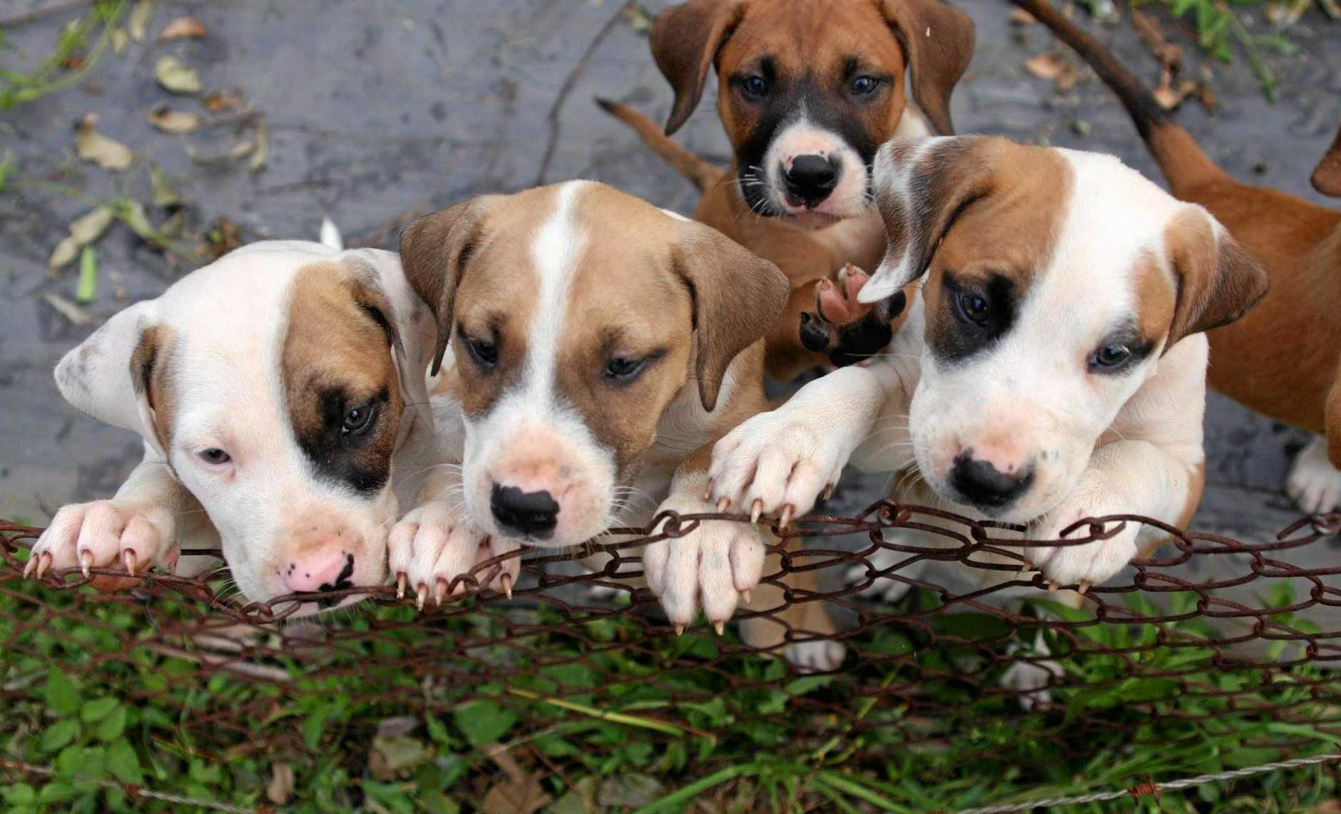 PUDDLE OF PUPPIES: Six-week-old puppies were dumped in a cage by the side of Rous Rd by a heartless person during the thunderstorms which hit Lismore on Monday night.