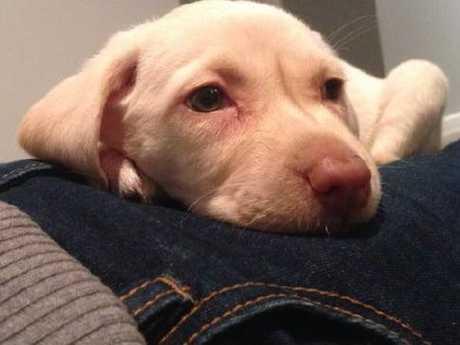 Labrador puppy Sasha.