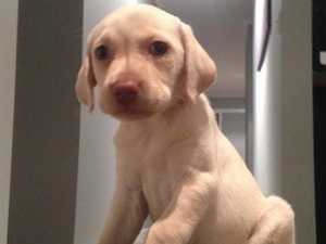 Heartless thief steals four-year-old's puppy