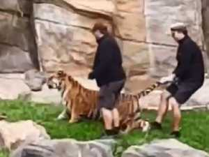 Dreamworld stands by tiger handlers after footage goes viral
