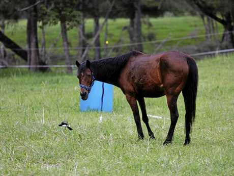 Ms Mercuri said this horse was dumped without food or water, but is now improving.