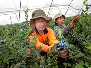 Blueberry economy is netting jobs and investment