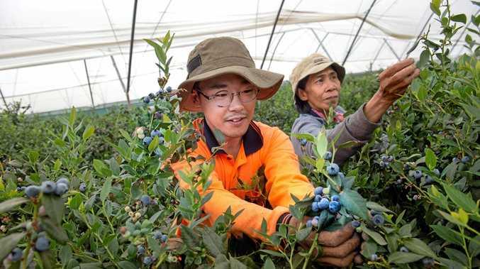 COSTA LIVING: Taehyoung Kim and Mona Drenan hard at work picking the crop at the Costa Group farms at Corindi.