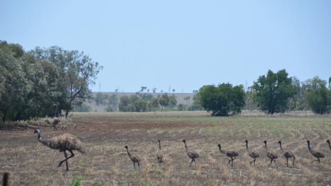 This male emu tending nine chicks could mean a big wet is on the way Photo: John Andersen