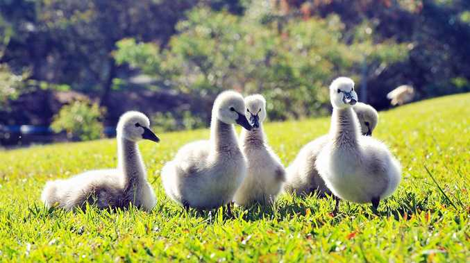 Swan and cygnets sunbaking on the lawn, waiting for the latest news items, behind the Sunshine Coast Daily's newsroom at Maroochydore.      Photo Greg Miller / Sunshine Coast Daily