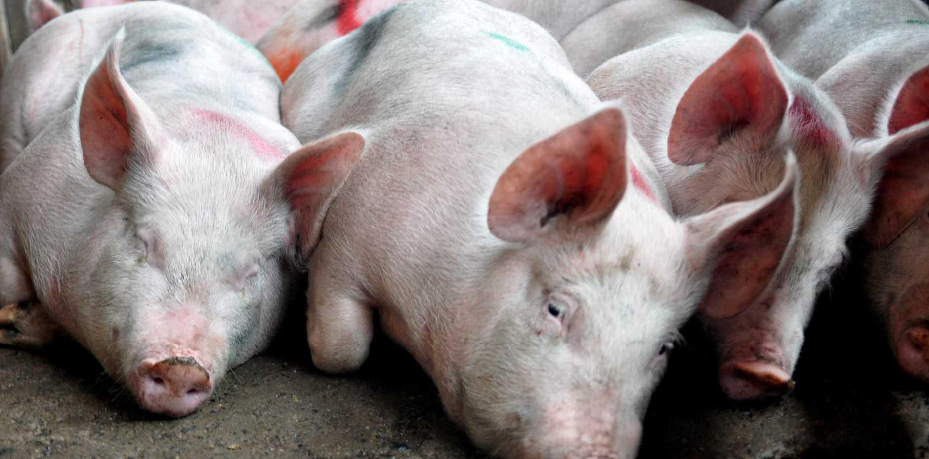 LIVESTOCK TRANSPORT: Animal activism groups block trucks en route to abattoirs