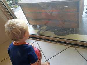 WATCH: Huge python takes interest in Coast toddler