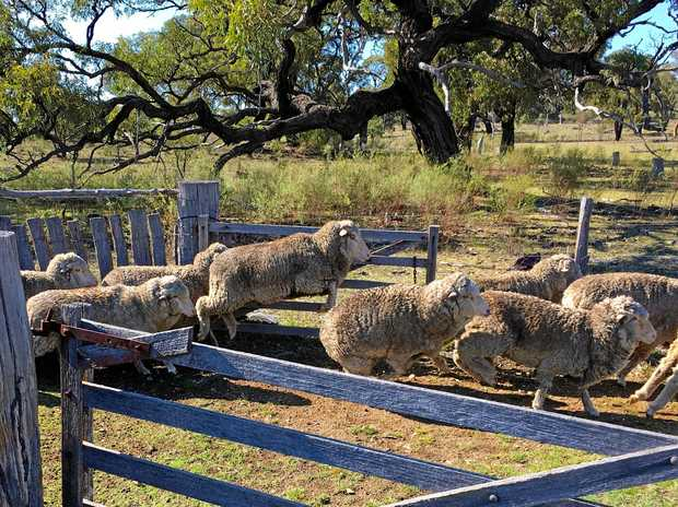 HAIR CUT: Sheep on Belinda and Scott Jamieson's farm west of Stanthorpe ready to be shorn.